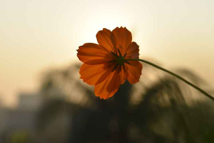 selective focus photo of orange cosmos flower in bloom